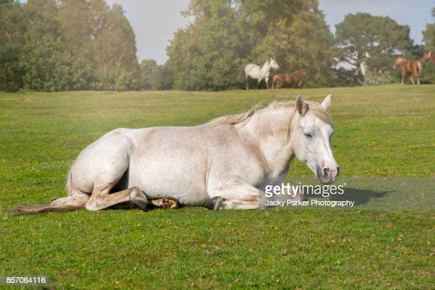 white new forest pony resting in the summer sunshine - lymington stock photos and pictures