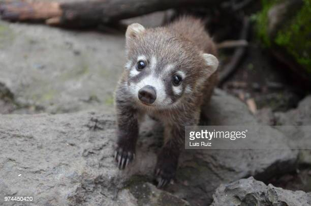 white nosed coati (nasua narica) looking at camera, cuernavaca, mexico - coati stock pictures, royalty-free photos & images