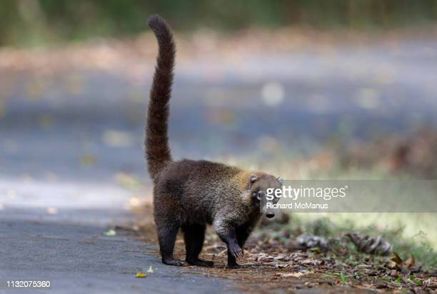 white nosed coati - coati stock pictures, royalty-free photos & images