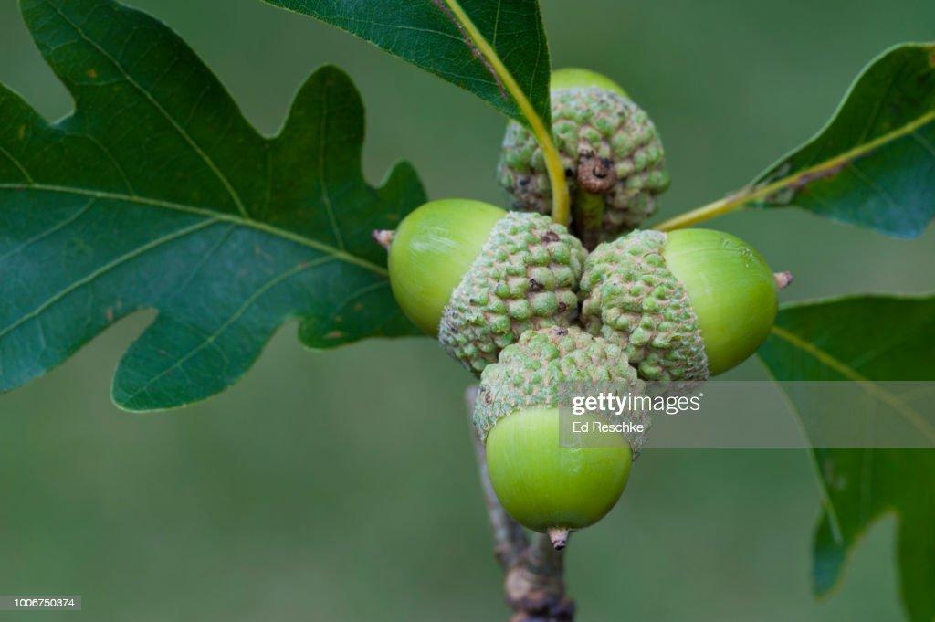 White Oak (or Stave Oak) Acorns and Leaves (Quercus alba) : Stock Photo