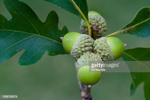 white oak (or stave oak) acorns and leaves (quercus alba) - ed reschke photography stock photos and pictures