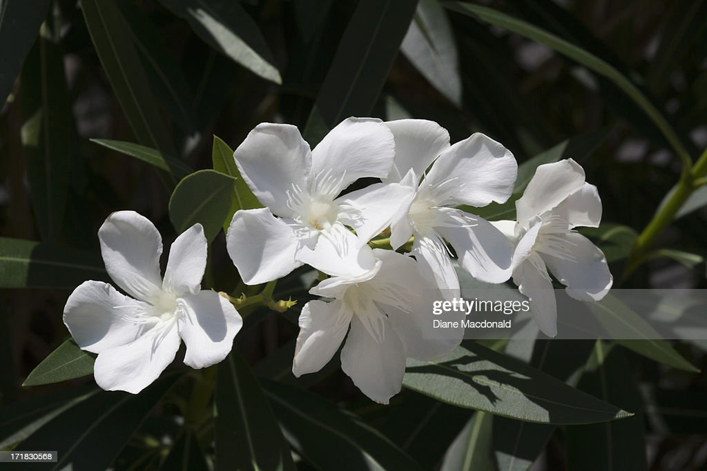 White oleander flowers stock photo getty images white oleander flowers stock photo mightylinksfo
