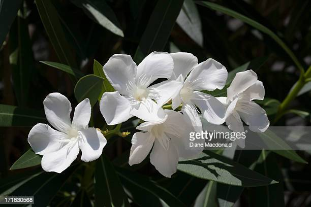 Oleander stock photos and pictures getty images white oleander flowers mightylinksfo