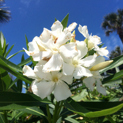 White Oleander Flowers Photos