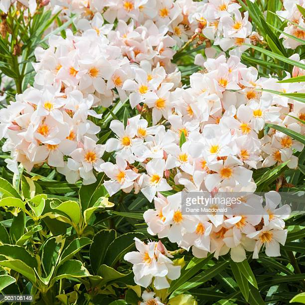 Oleander stock photos and pictures getty images white oleander mightylinksfo