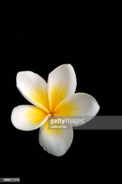 White  on black plumeria