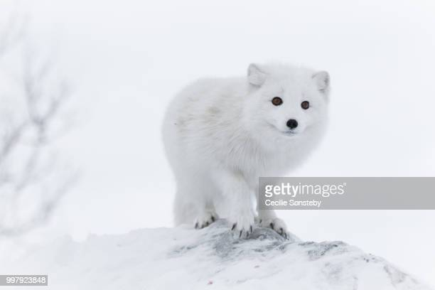 white on white - arctic fox stock pictures, royalty-free photos & images