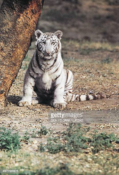 White or albino tiger Felidae