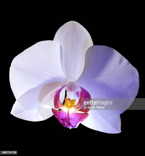 White Orchid Close Up Still Life