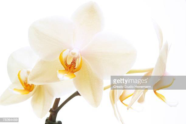 White orchid (Phalaenopsis), close-up