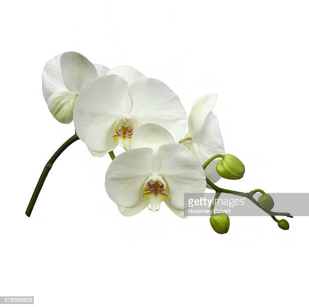 White orchid flowers on white square background