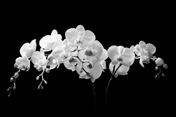 Free flower black and white stock photos and royalty free images white orchid flowers with black background mightylinksfo