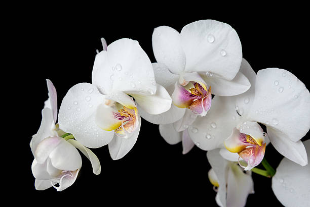 Free white flower black background images pictures and royalty white orchid on a black background mightylinksfo