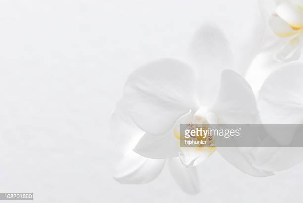 white orchid - orchid flower stock pictures, royalty-free photos & images
