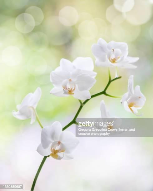 white orchid - gregoria gregoriou crowe fine art and creative photography. foto e immagini stock