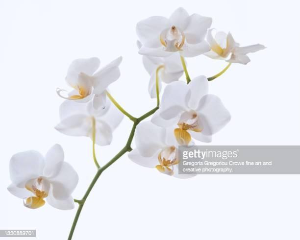 white orchid - gregoria gregoriou crowe fine art and creative photography. stock-fotos und bilder