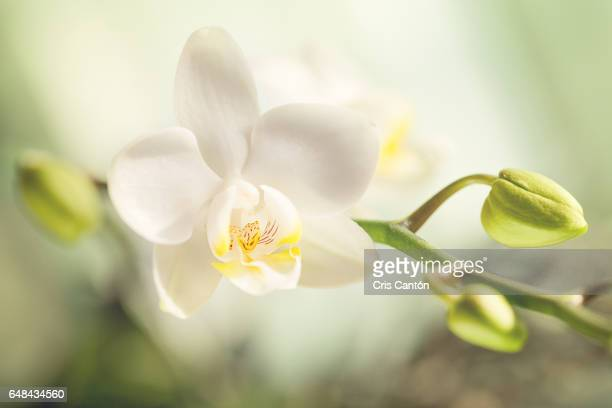 white orchid - cris cantón photography stock pictures, royalty-free photos & images
