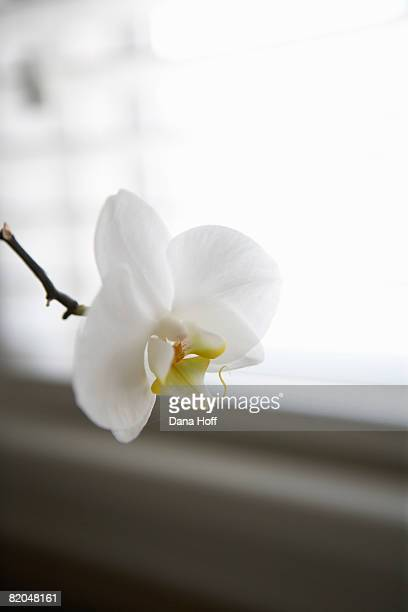 white orchid - dana white stock pictures, royalty-free photos & images
