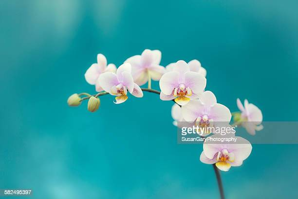 white orchids on blue - orchid flower stock pictures, royalty-free photos & images
