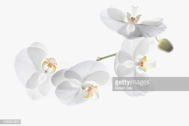 White orchids on stem