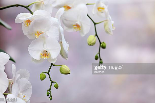 white orchids - orchid flower stock pictures, royalty-free photos & images