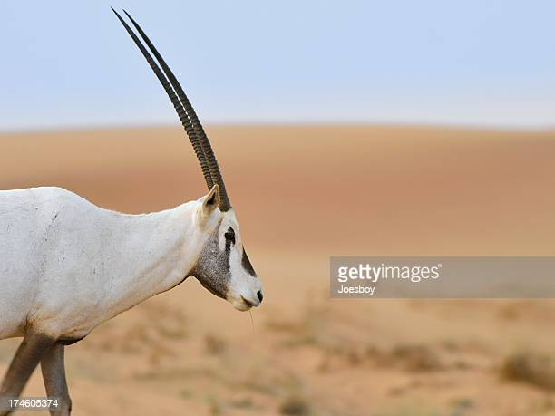 White Oryx In Dubai