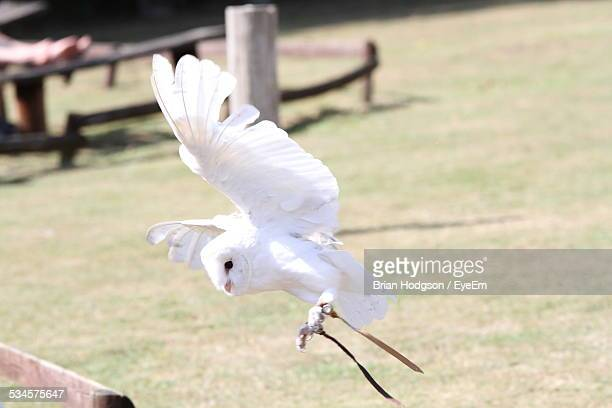white owl flying over grassy field - chouette blanche photos et images de collection
