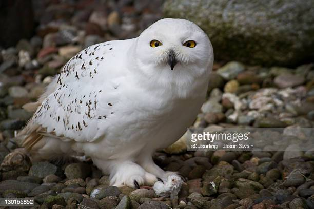 white owl - s0ulsurfing stock pictures, royalty-free photos & images