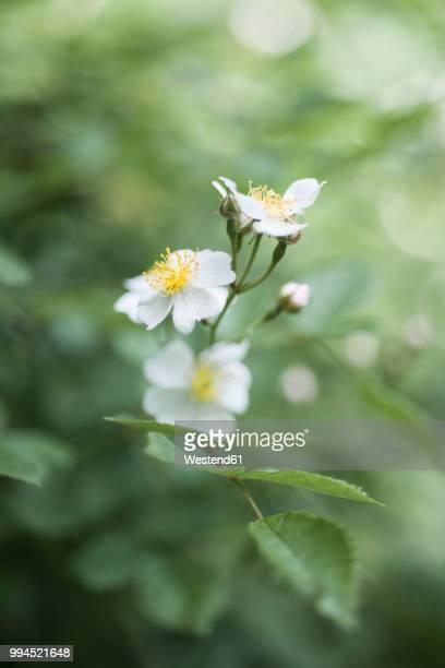 White Pale Rose