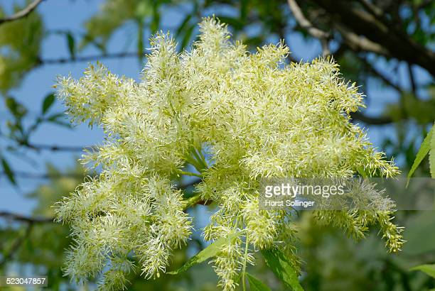 white panicles of a manna ash or south european flowering ash -fraxinus ornus- - ash tree bildbanksfoton och bilder