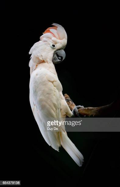 white parrot under black background - oiseau tropical photos et images de collection