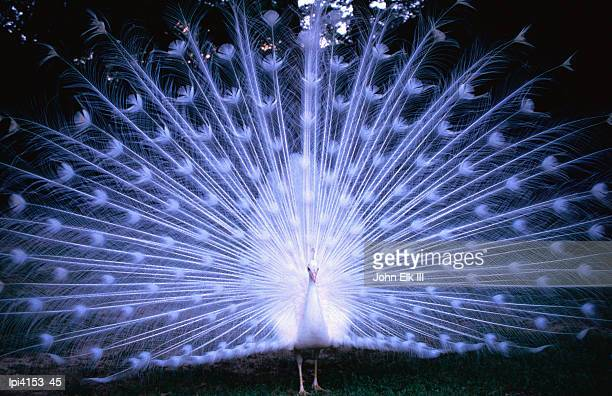 White peacock at Oakley Plantation, St Francisville, Front view, United States of America