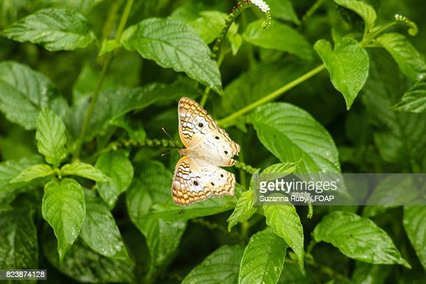 White peacock butterflies on green leaves