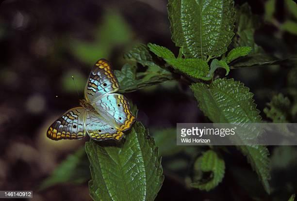 White peacock butterfly, Anartia jatrophae, Freshwater swamp habitat, Anhinga Trail, Everglades National Park, Florida,