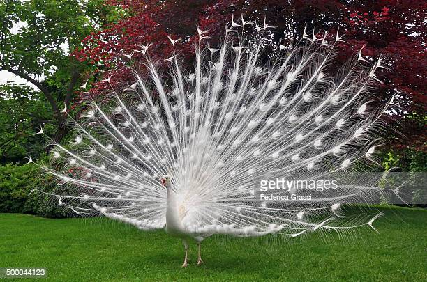 A White Peacock in all its Splendour