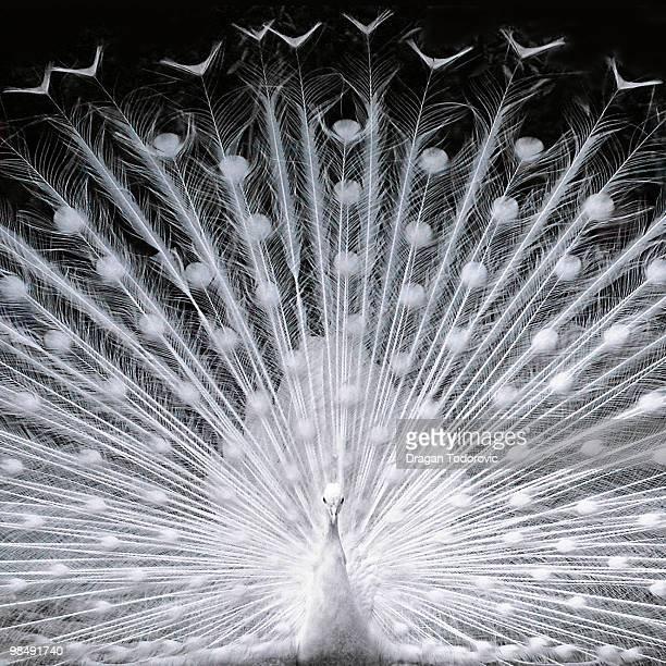 white peacock - paon photos et images de collection