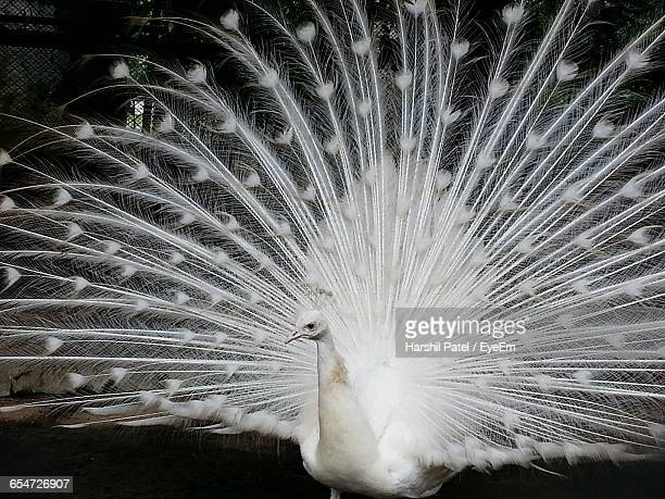 White Peacock With Feathers Fanned Out