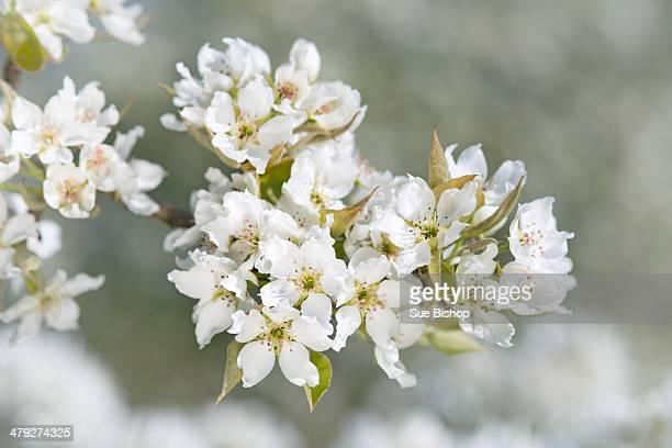 White pear blossom pyrus pyrifolia