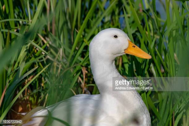 white pekin duck hiding amongst reeds - pekin duck stock pictures, royalty-free photos & images
