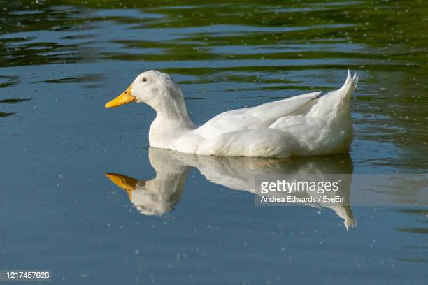 white pekin duck on still calm lake with reflection - pekin duck stock pictures, royalty-free photos & images