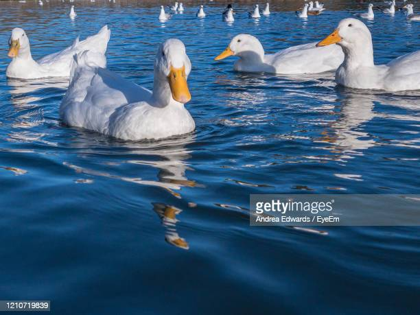 white pekin ducks, also known as aylesbury or long island ducks, swimming on a lake in early winter - pekin duck stock pictures, royalty-free photos & images