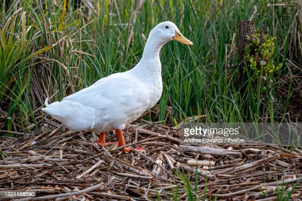 white pekin ducks in long grass at sunrise - pekin duck stock pictures, royalty-free photos & images