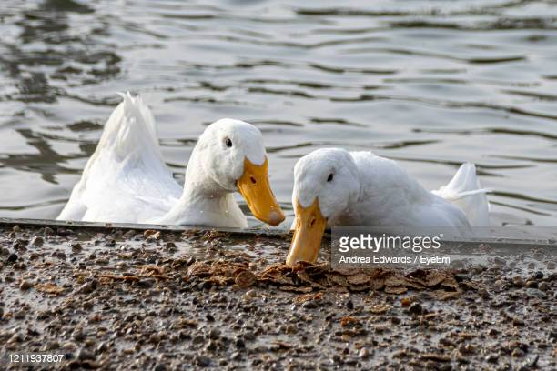white pekin ducks investigating and eating cereal food - pekin duck stock pictures, royalty-free photos & images