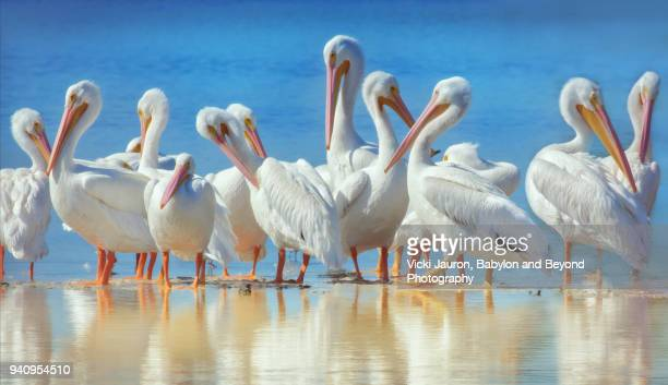 white pelicans and reflections at ding darling reserve - gulf coast states stock pictures, royalty-free photos & images