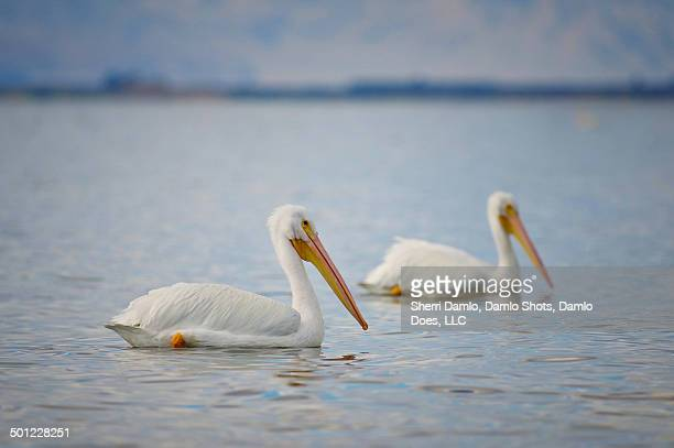 white pelicans - damlo does stock pictures, royalty-free photos & images