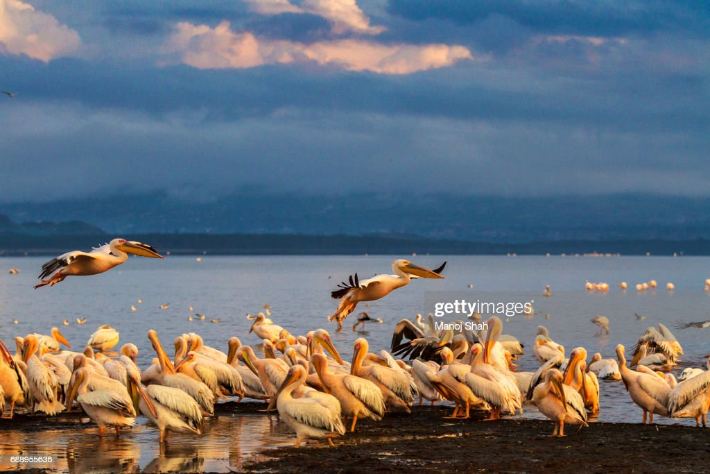 White Pelicans : Stock Photo