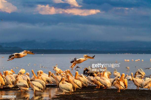 white pelicans - lake nakuru stock photos and pictures