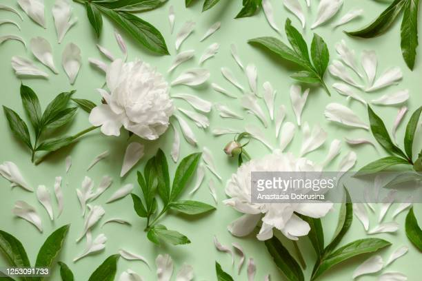 white peonies flowers and leaves on pastel green background. - peonia foto e immagini stock