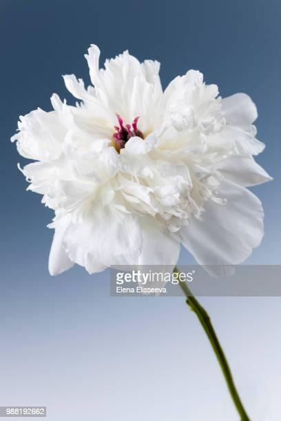 white peony flower - elena blume stock-fotos und bilder