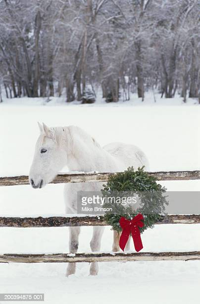 white percheron by fence decorated with christmas wreath, winter - christmas horse stock pictures, royalty-free photos & images